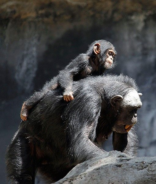 Regina The Chimpanzee Carries Her Baby Zuri At The Los Angeles Zoos Chimpanzees Of Mahale Mountains Exhibit Zur Chimpanzee Baby Chimpanzee Cute Baby Animals