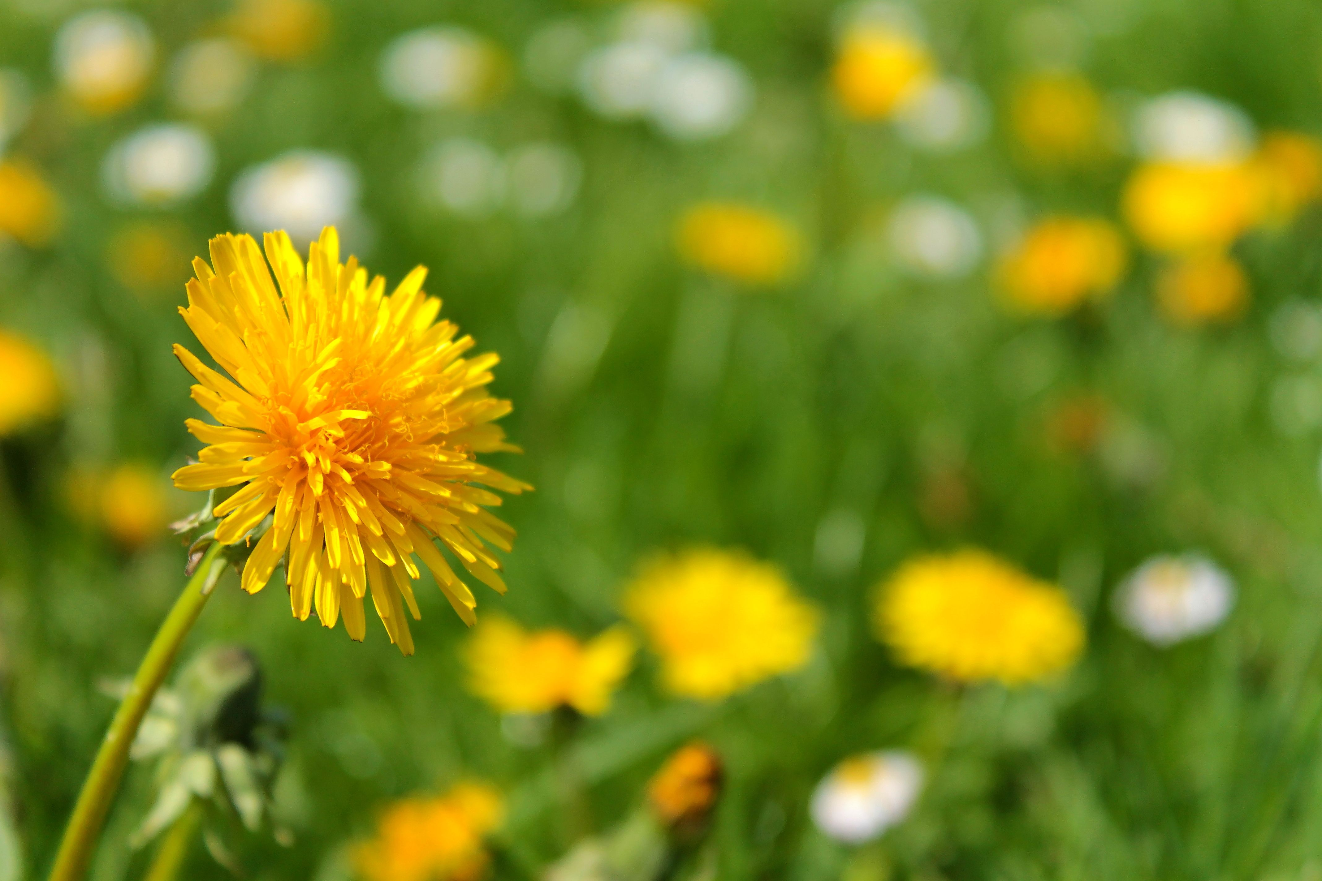 Image result for yellow dandelions and daisies Pinterest