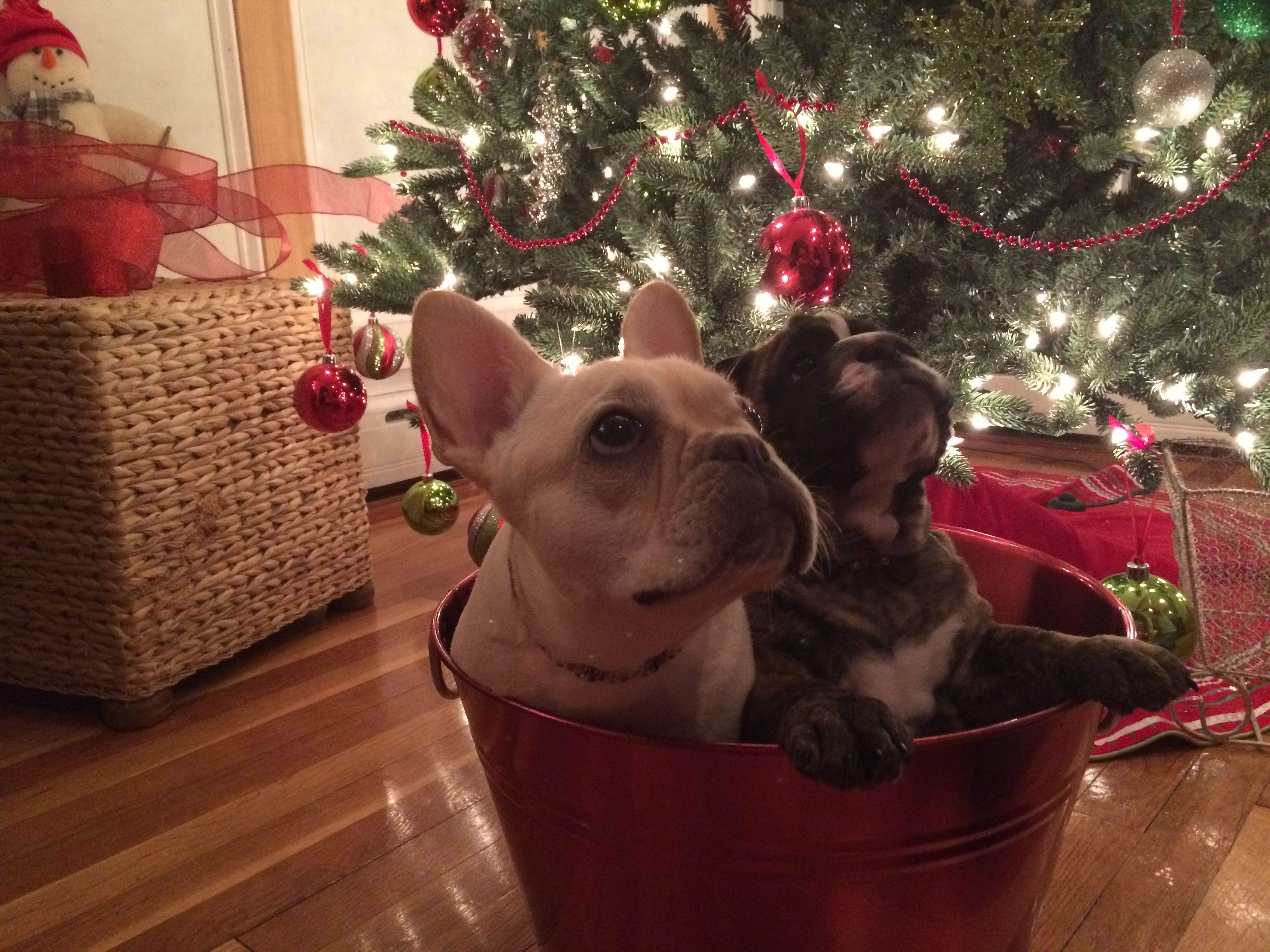 When I Wish Upon A Star Bulldog French Bulldog Boston Terrier