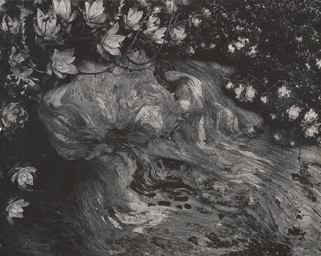 Cypress, Point Lobos by Edward Weston on artnet