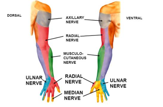 Image result for radial nerve innervation | Anatomy | Pinterest