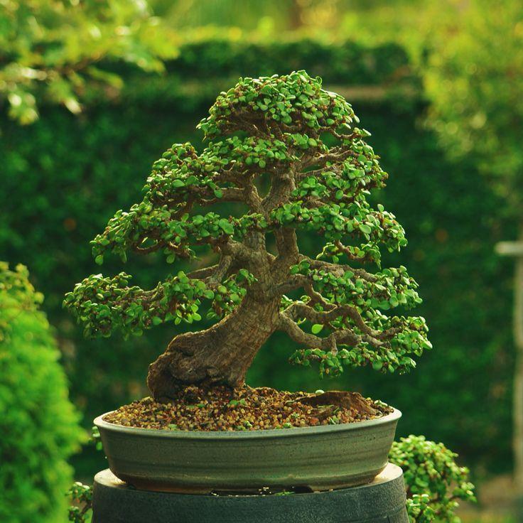 Podocarpus Carving At Old Florida Bonsai Jade Bonsai Bonsai Techniques Bonsai Tree