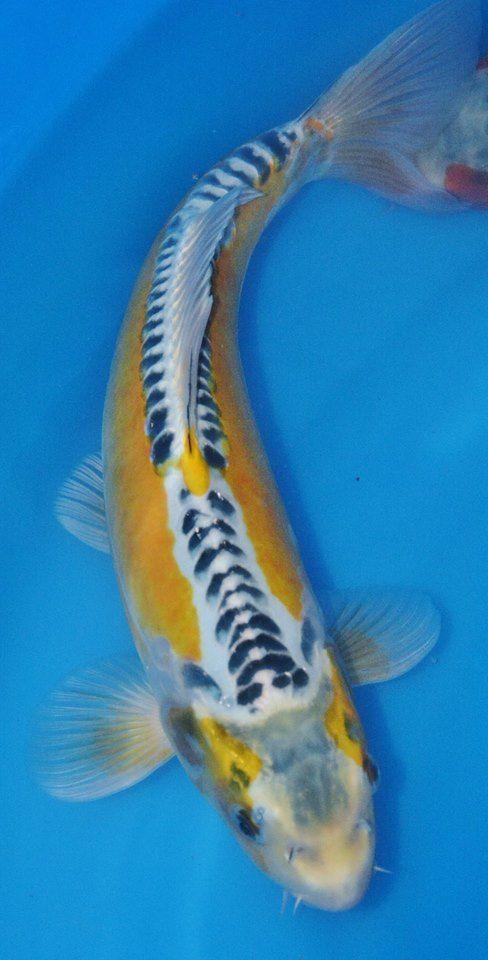 Ki shusui pinteres for Koi spawning pool