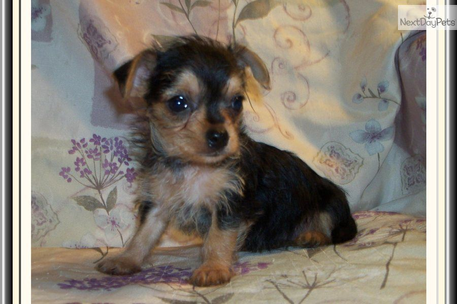 Pictures Of Chorkie Puppies Pretty Little Female Chorkie Cute Dogs Puppies Cute Puppies