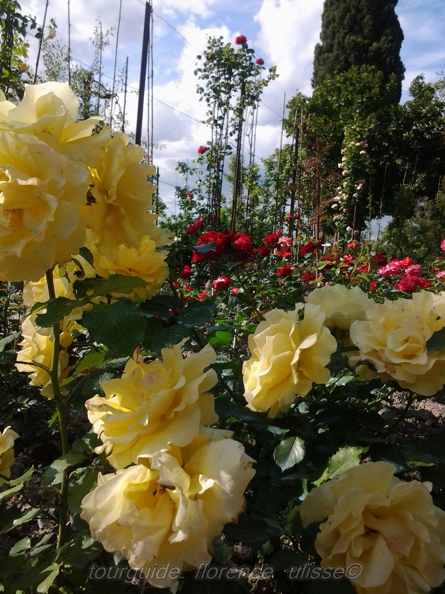 beautiful contrast between the yellow and the red roses!