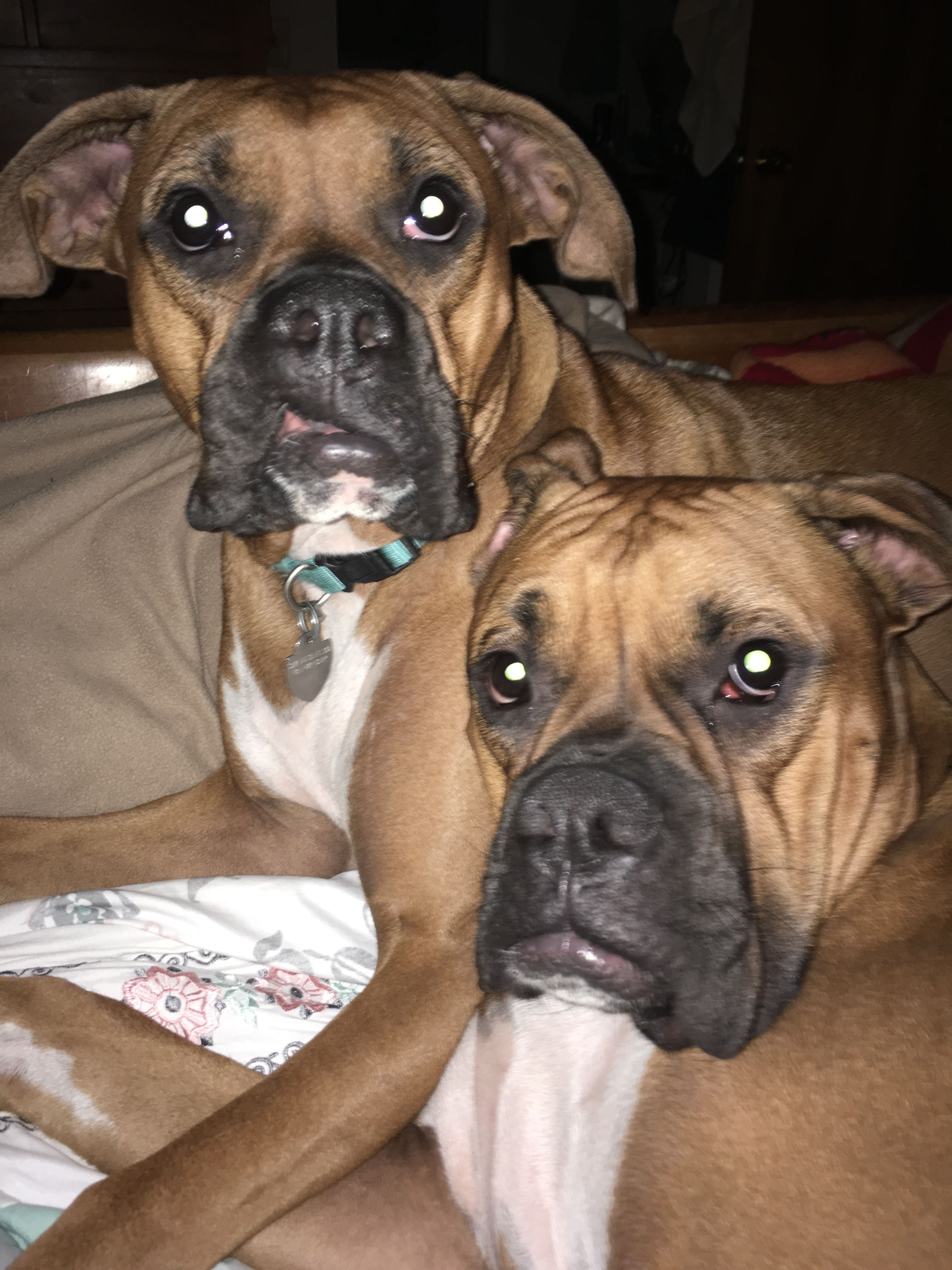 Pin by January3333 on Boxer Love Boxer love, Boxer, Dog