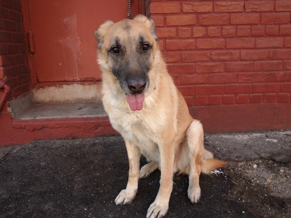 SAFE --- URGENT - Brooklyn Center    CHARLIE - A0990614   MALE, TAN / BLACK, GERM SHEPHERD MIX, 6 yrs  OWNER SUR - EVALUATE, NO HOLD  Reason LLORDPRIVA   Intake condition NONE Intake Date 01/29/2014, From NY 11212, DueOut Date 01/29/2014 Main Thread:   https://www.facebook.com/photo.php?fbid=750565388289676&set=a.750565378289677.1073742923.152876678058553&type=3&theater