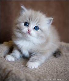 Https Www Facebook Com Kittytails Photos A 188303934621837 40509 188300181288879 770821933036698 Cute Cats And Kittens Ragdoll Kitten Cat Breeder