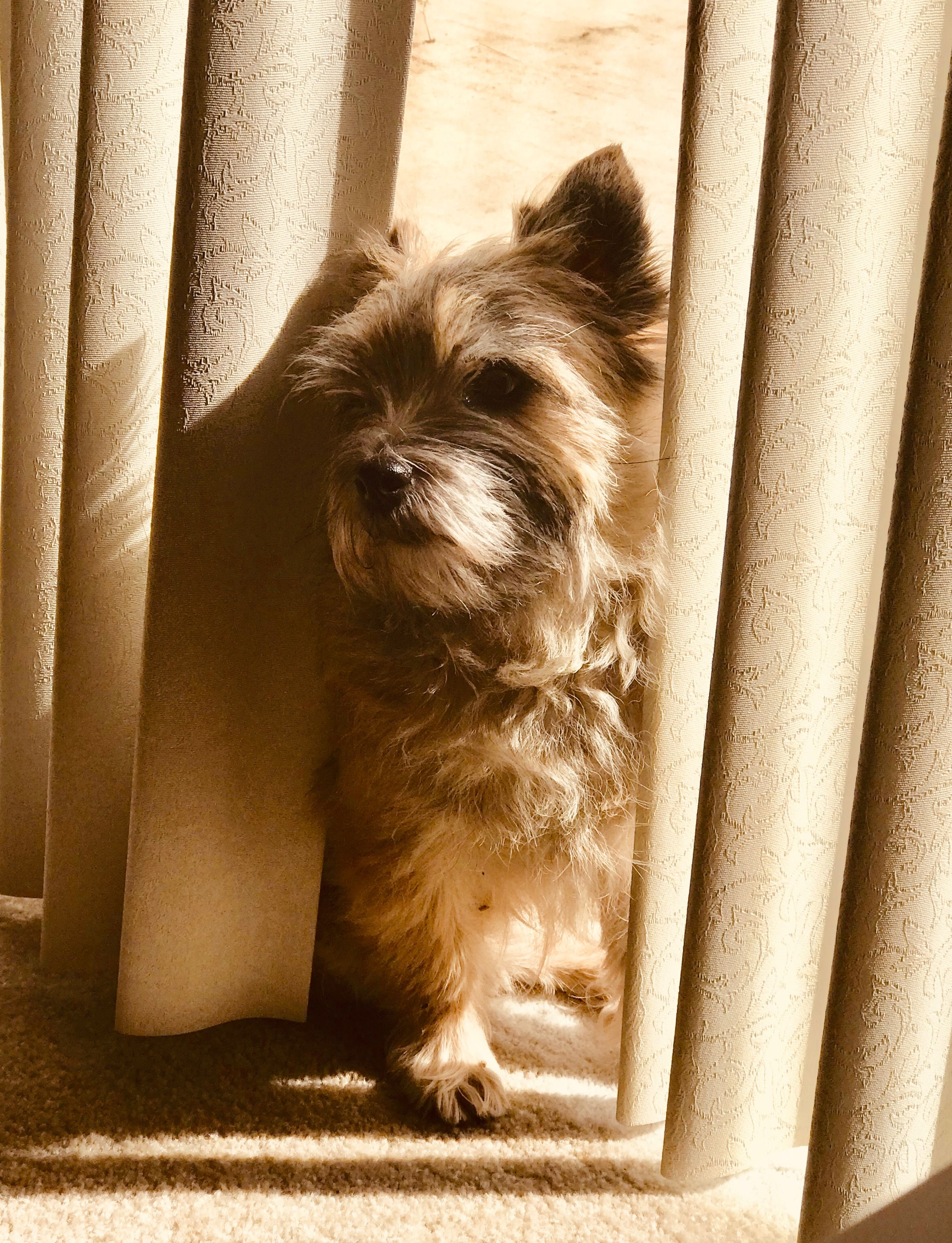 Pin By Janet Neilson On I Love Cairn Terriers Cairn Terrier