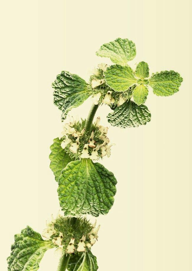 Beneficios del toronjil cuyano para adelgazar