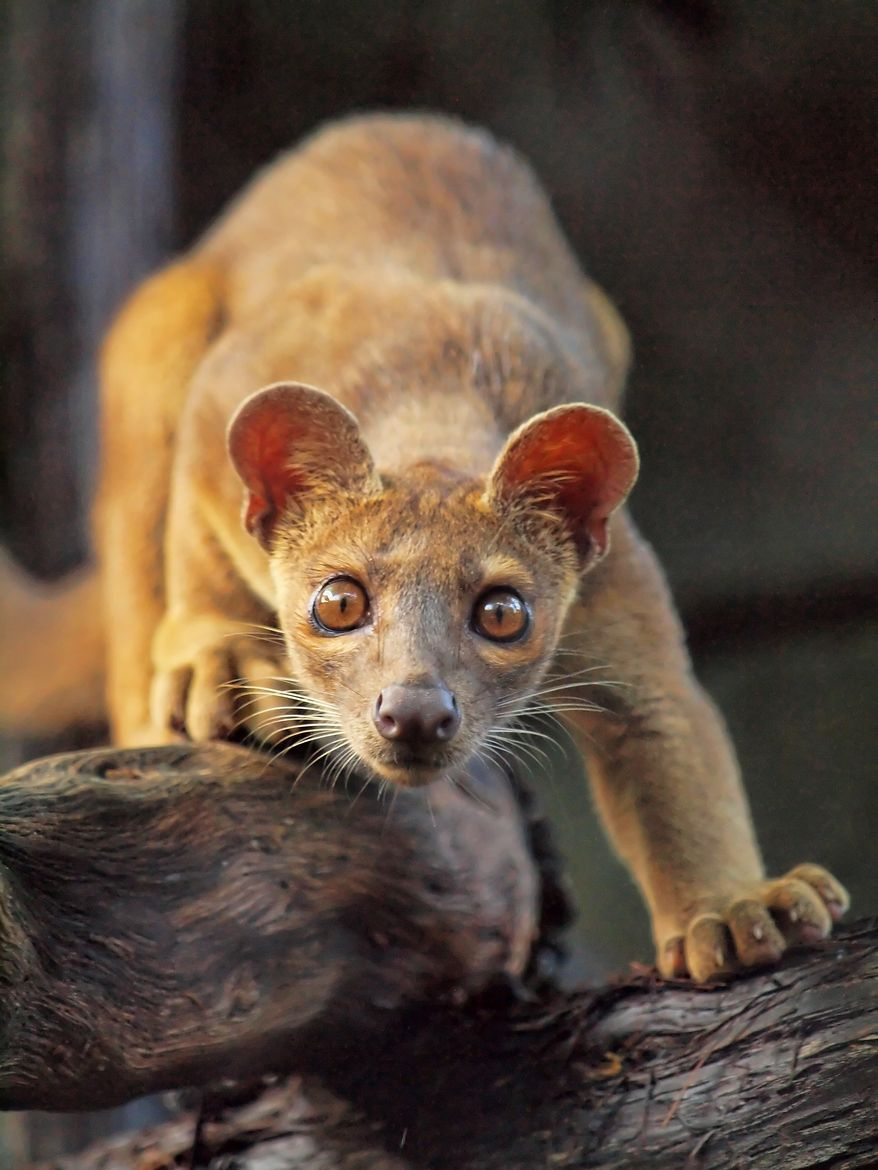 Fossa A relative of the mongoose, the fossa is unique to