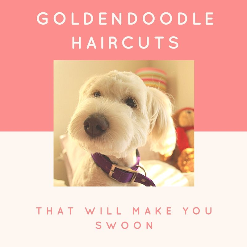 Haircuts For Goldendoodles Pictures: If You're Considering Grooming Your Goldendoodle, Consider
