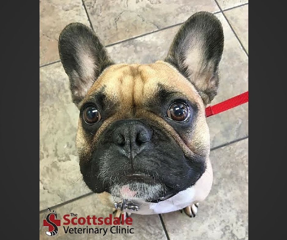 Rocco Is A Handsome Fawn Frenchie With A Black Mask French Bulldogs Are Goofy Silly Sometimes Stubborn Do Animal Hospital Veterinary Clinic French Bulldog