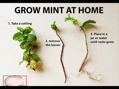 how to grow mint indoors easy best way to grow urduhindi how to grow plants at home. Black Bedroom Furniture Sets. Home Design Ideas