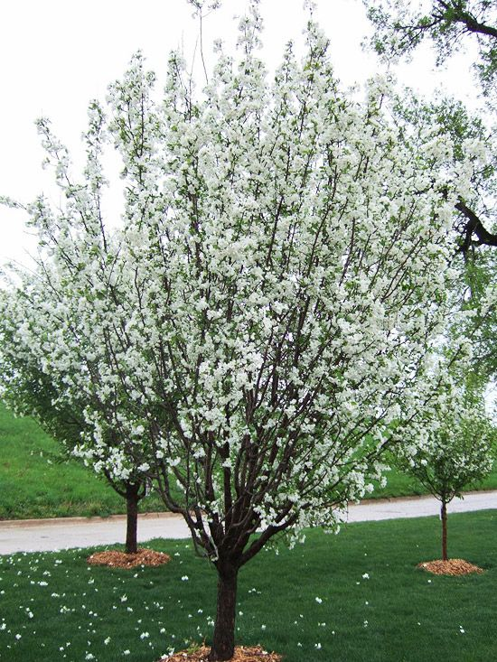 13 Of The Most Colorful Crabapple Trees For Your Yard Trees To Plant Crabapple Tree Flowering Trees
