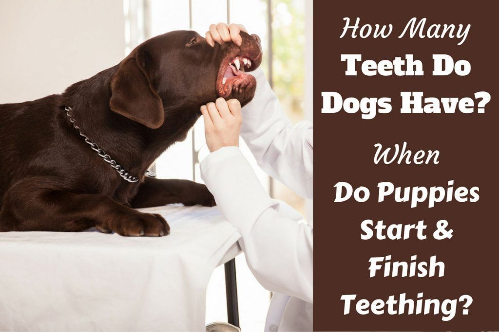 How Many Teeth do Dogs Have? When do Puppies Lose Their