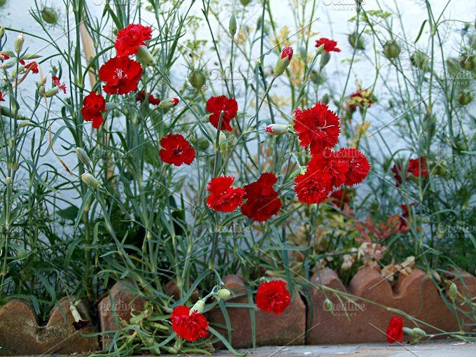 Red Carnations In Flowerbed Photos Amalgam Of Red Carnations In