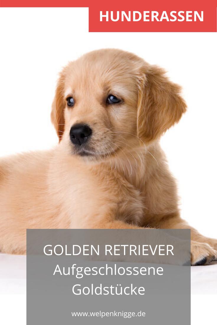 Golden Retriever Welpen In 2020 Welpen Retriever Welpen Hunderassen