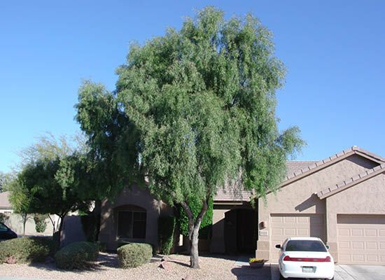 Willow Acacia For Sale Fast Growing Desert Trees Moon Valley