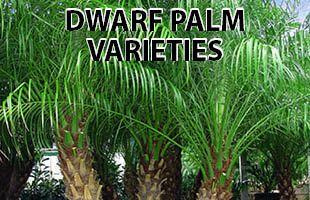 Palm Trees For Online In Phoenix Arizona