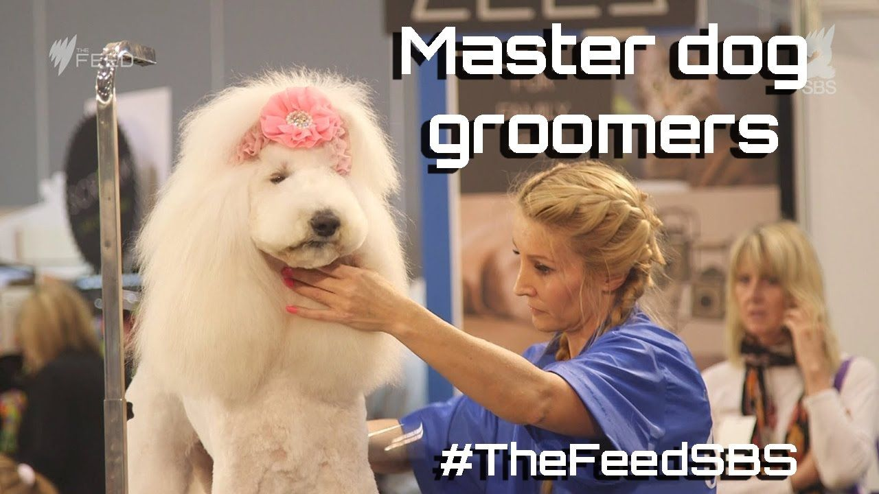 Inside the world of competitive dog grooming in Australia