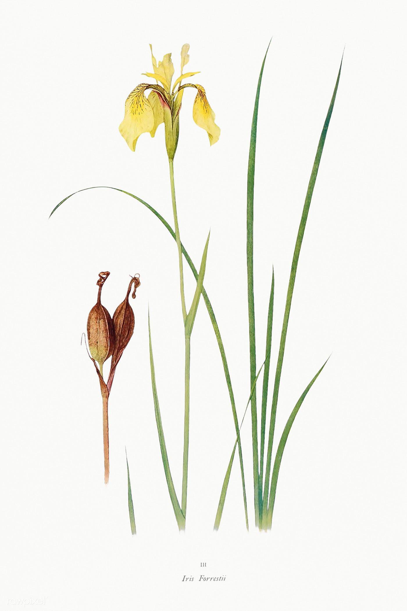 Download Premium Illustration Of Vintage Iris Flower Illustration Template In 2020 Flower Illustration Iris Flowers Antique Botanical Print