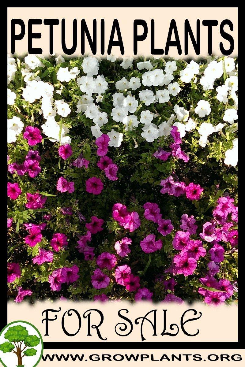 Petunia Plants For Sale Petunia Plant Plants Plant Sale