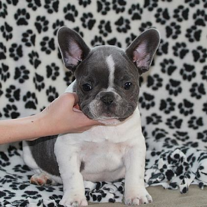 French Bulldog Puppies Pet Dog Puppies For Sale in