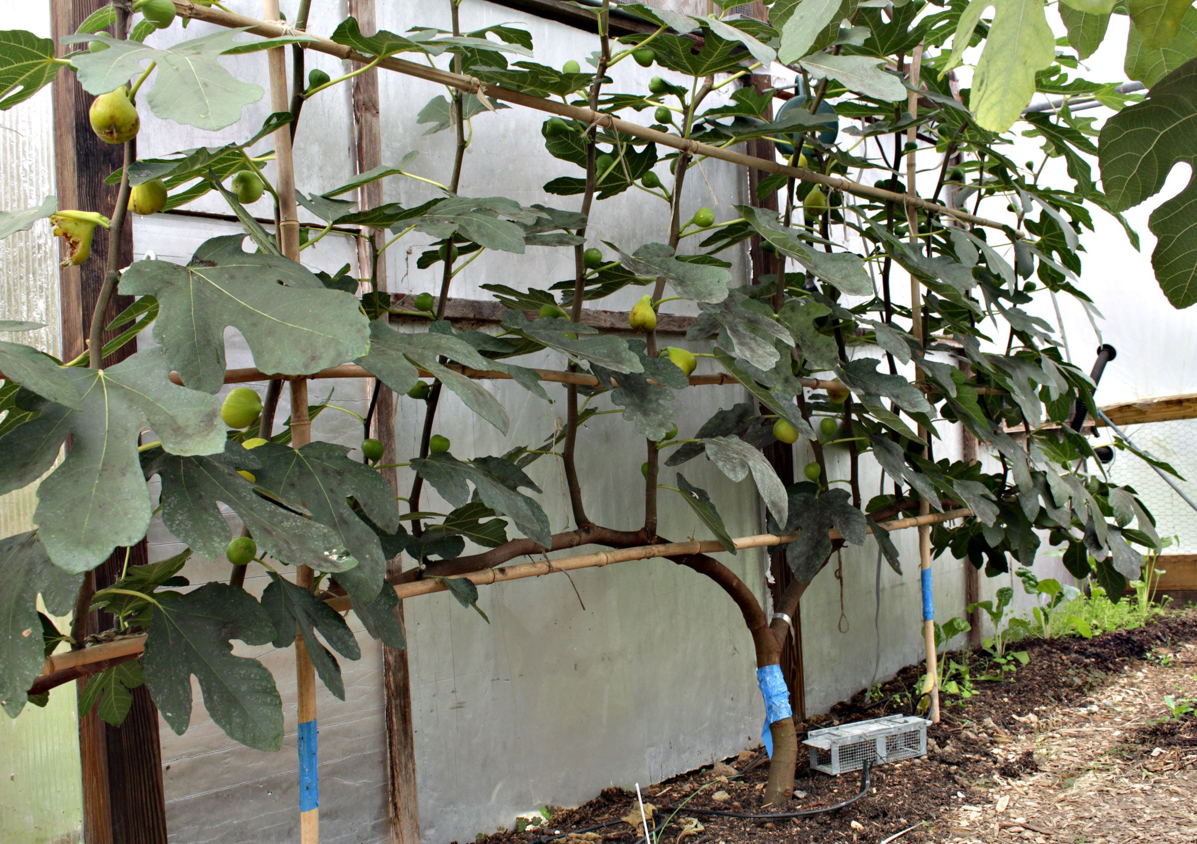 Espalier fig in October with ripe fruits