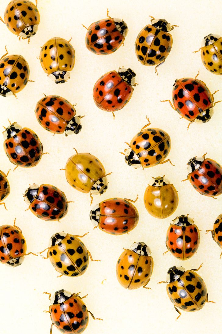 Top 10 Natural Ways To Get Rid Of Ladybugs Aka Asian Lady Beetles Wholelifestylenutrition