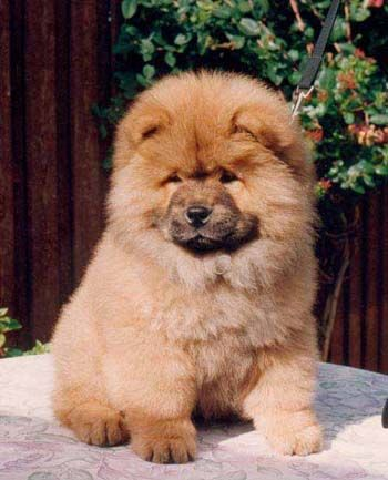 Country Of Origin The Chow Chow Originated In China Height Chow