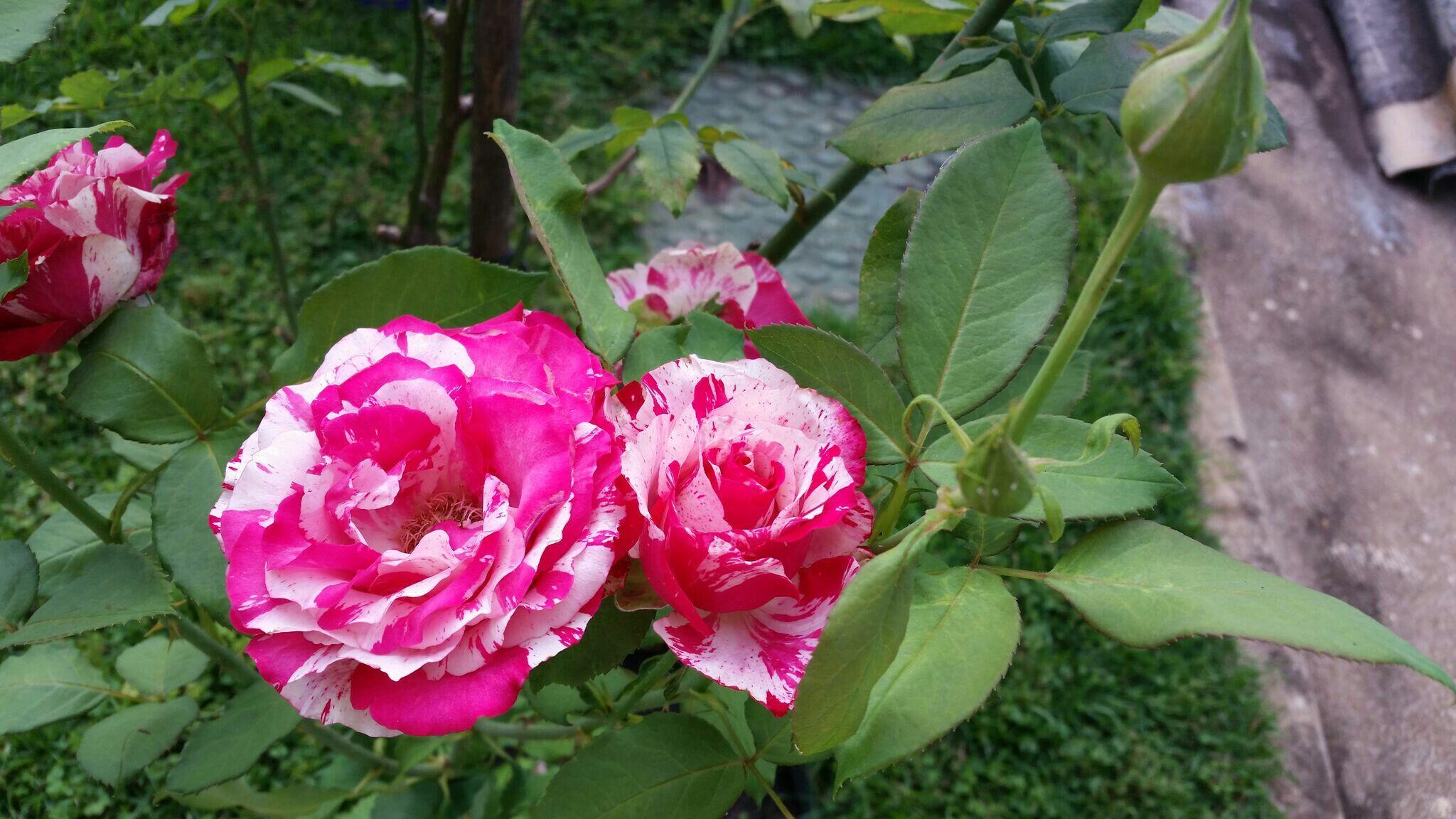 Rosa Mesclada! (3)