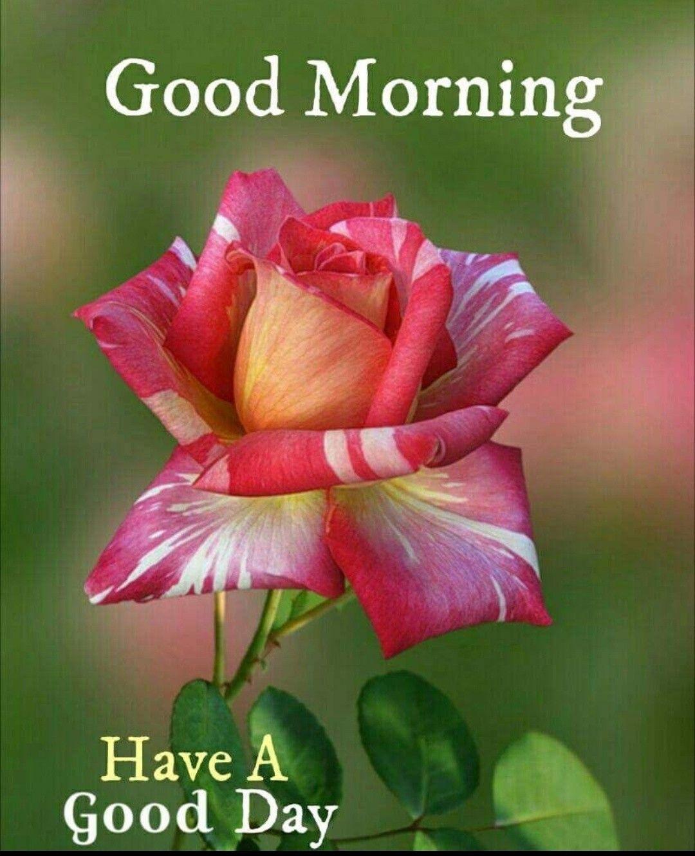 Good Morning Greetings Schone Blumen Wunderschone Blumen Schone Rose