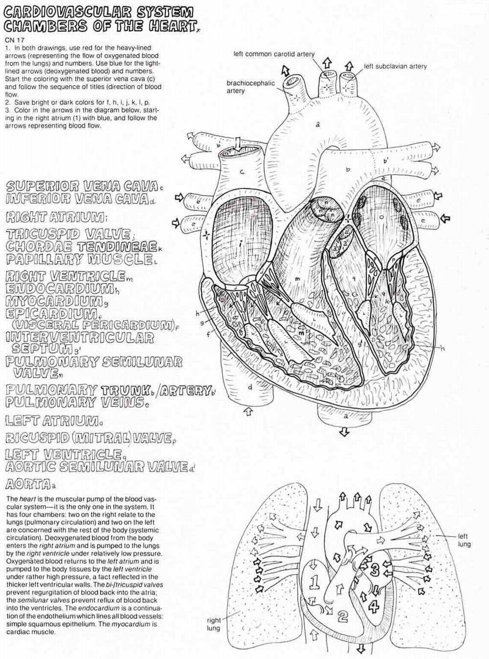 cardiovascular system chambers of the heart worksheet google