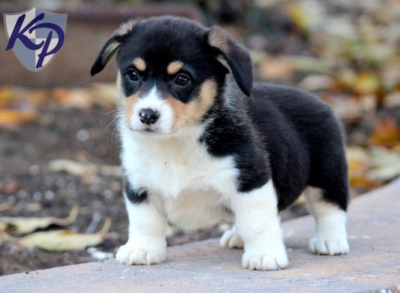 Puppy Finder Find Buy A Dog Today By Using Our Petfinder Puppies Corgi Corgi Mix