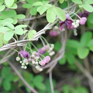 Akebia perennial vine Garden Pinterest - gartenpflanzen winterhart immergrun