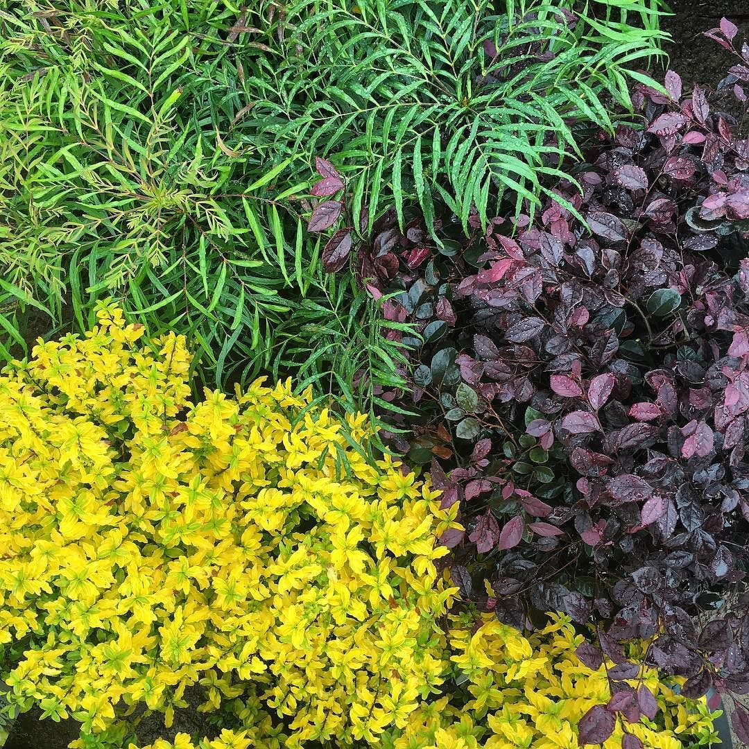 Sunset Magazine On Instagram Our Sunsetplants Playing Nicely And Loving This Rain In Our New Cornerston Soft Caress Mahonia Backyard Flowers Shade Plants