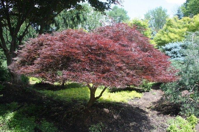 Acer Palmatum Dissectum Tamukeyama Weeping Japanese Maple