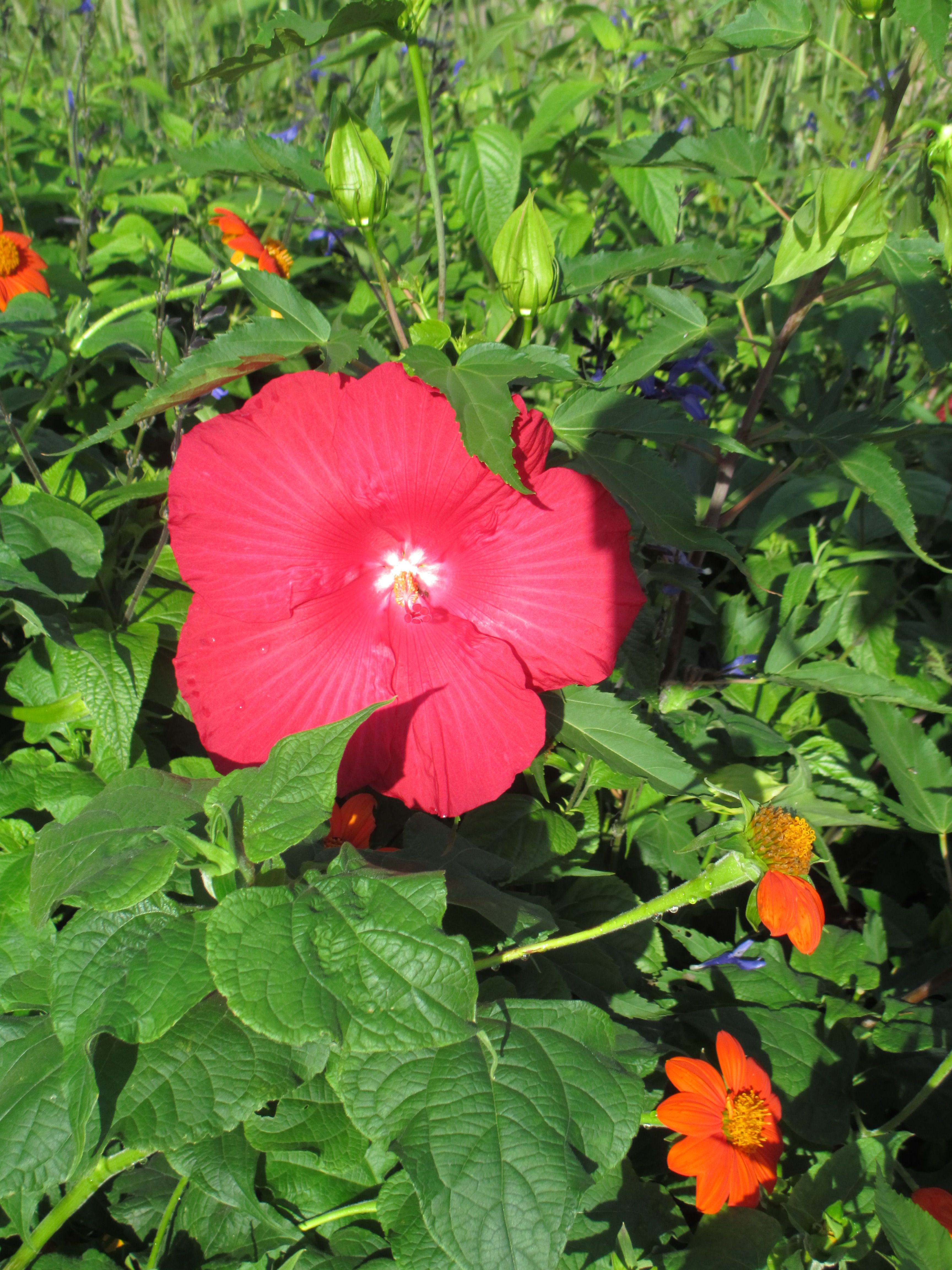 Nothing like a hibiscus for a pop of color! At Minnehaha Falls
