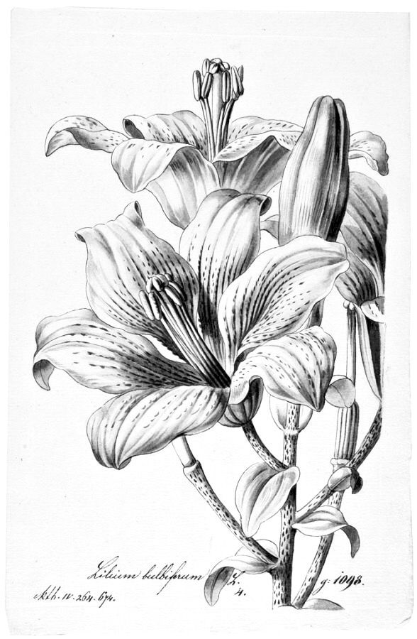Realistic Lily Flower Drawing : realistic, flower, drawing, Diego, Rosas, SEDA,, COLECCIÓN, GENERAL, Pencil, Drawings, Flowers,, Realistic, Flower, Drawing,, Lilies, Drawing