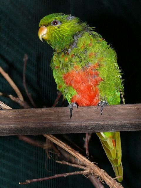 Emerald lorikeet.