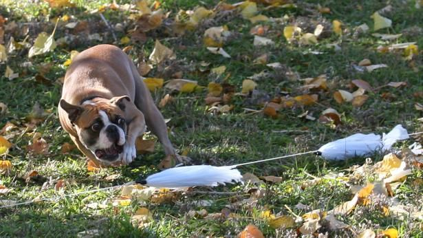 If Your Dog Loves To Chase Visit Run Dog Run Lure Chasing In