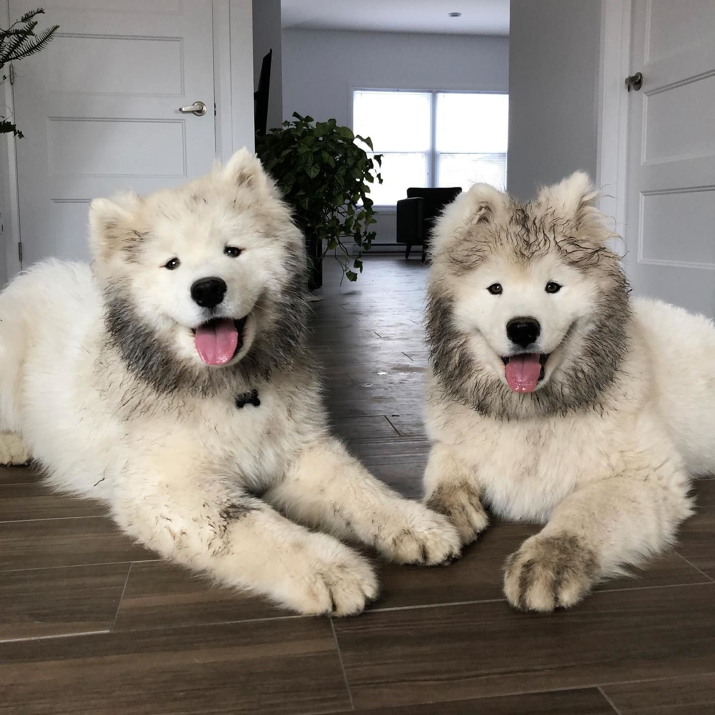 Pin On Samoyed Holics
