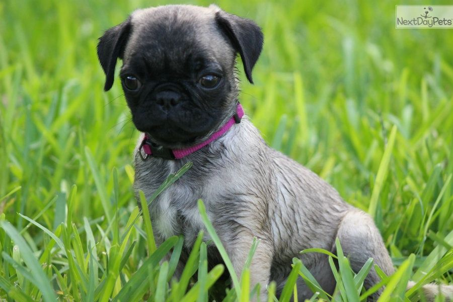 Adorable Healthy Socialize Pug Pug Puppies For Sale Pugs For Sale Pugs