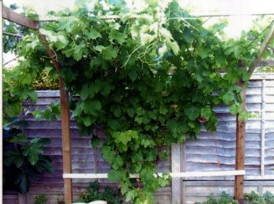 Pruning An Overgrown Or Never Before Pruned Vine Part 2