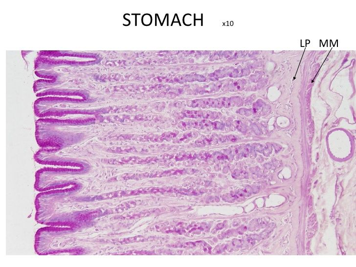 Stomach Section of the gastric glands in the fundus of the ...