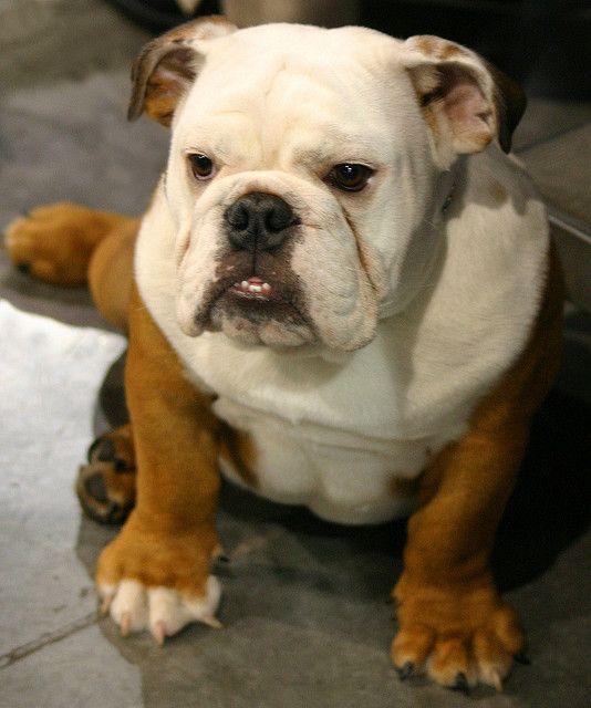 Beautiful Bulldog Pets Dogs Pet Adoption