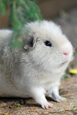 Pin On Guinea Pigs And Other Small Pets
