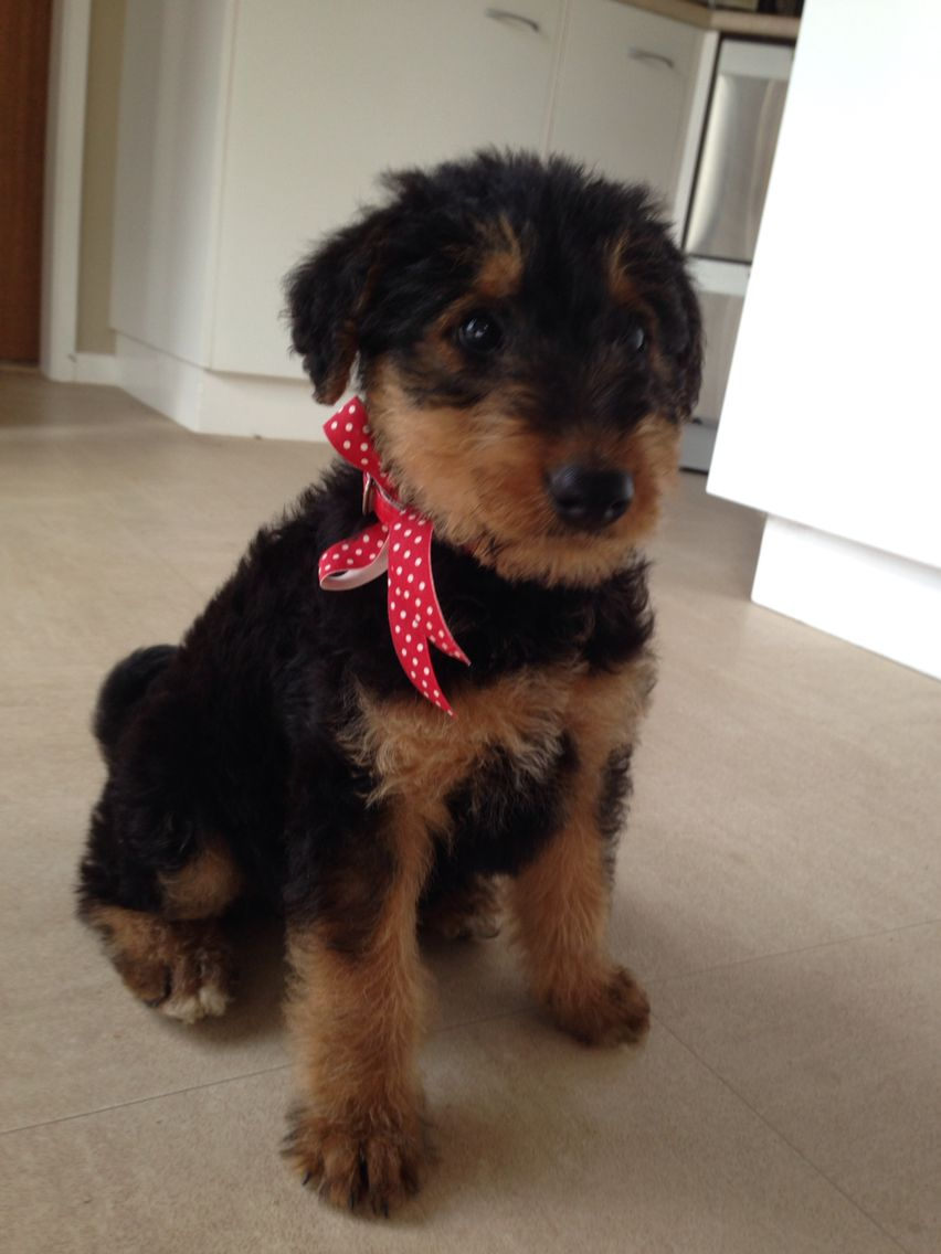 Martha our 8 week old Airedale terrier puppy | Puppies | Pinterest ...
