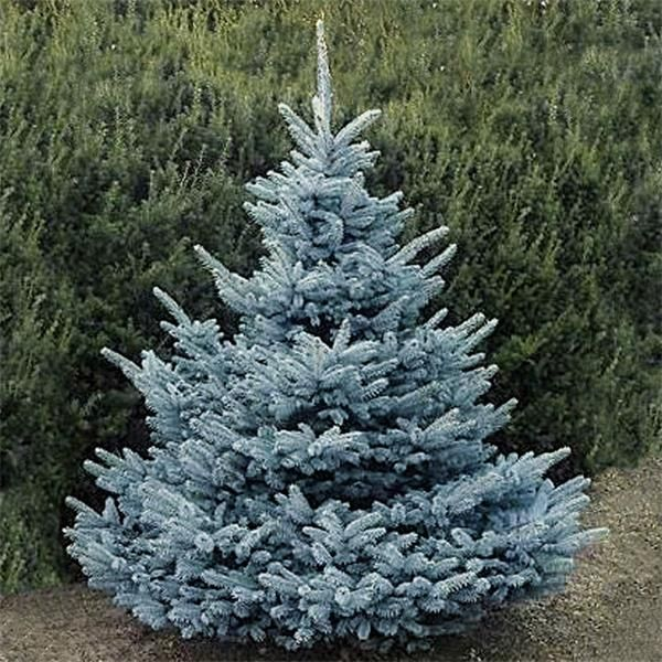 Picea Pungens Super Blue Blue Spruce Picea Pungens Picea Pungens Glauca Blue Spruce